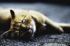 Brown and White Cat Lying on Ground Royalty Free Stock Photo