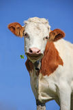 Brown and white checkered lucky cow with a four leaf clover Royalty Free Stock Photography