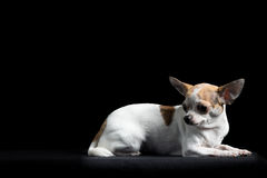 Brown and white chihuahua in black Royalty Free Stock Image