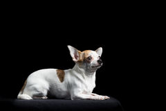 Brown and white chihuahua in black Stock Photo
