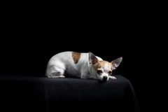 Brown and white chihuahua in black Stock Images