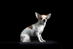 Brown and white chihuahua in black Stock Photos