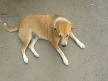 Brown color stray dog sitting on street stock photos