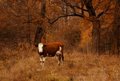 Brown and white colored cow standing near the autumn forest. Natural animalistic background. Farm animal on the pastureland stock photography
