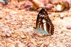 Brown and white the commander butterfly Stock Image
