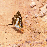 Brown and white the commander butterfly Stock Photography