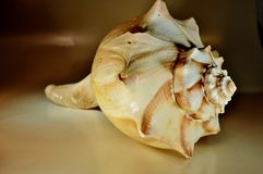 Conch shell. Brown and white conch shell royalty free stock photos