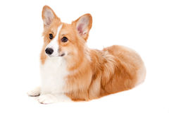 Brown and White Corgi Stock Image
