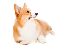 Brown and White Corgi Royalty Free Stock Photo