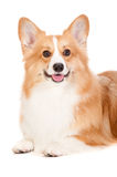 Brown and White Corgi Royalty Free Stock Photography