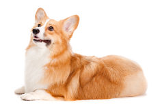 Brown and White Corgi Stock Photos