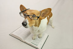 Brown and White corgi with glasses and textbook Royalty Free Stock Photography