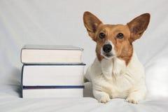 Brown and white corgi with textbooks Stock Photos