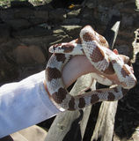 Brown and White Corn Snake Royalty Free Stock Photography