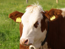 Brown and white cow. A brown and white cow on the pasture Royalty Free Stock Photography