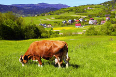 Brown white cow Royalty Free Stock Photo