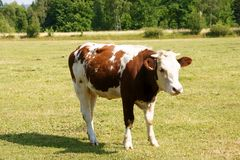 Brown and white cow Royalty Free Stock Images