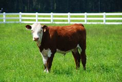 Brown and white cow. Standing in a green field Stock Photography