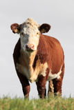 Brown white cow. Brown/white cow standing in a field Royalty Free Stock Photos