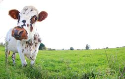 Brown and white cow, breed Normande, France stock photo