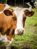 Brown and White Cow Close Up Stock Images