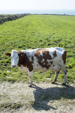 Brown and white cow on the kerry coast.tif Royalty Free Stock Images