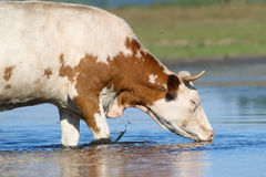 Cow drinking water on the  watering place Royalty Free Stock Images
