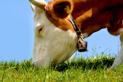 Brown / white cow eating grass Royalty Free Stock Images