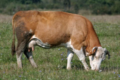 Brown white cow eats grass Stock Photos