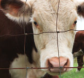 Brown and white cow through fence. Closeup of brown and white cow looking through farm fence Royalty Free Stock Images