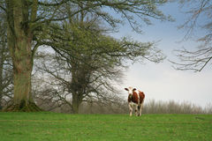 A brown and white cow in a field with trees. A brown and white cow looking at the viewer from an empty green field, with large trees Stock Images