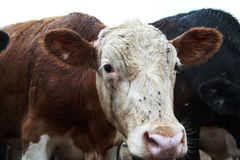 Brown and White Cow with flies on his nose.  Royalty Free Stock Photo
