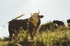 Brown and White Cow on Grassfield royalty free stock photography