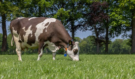 Brown and white cow grazing in a dutch landscape Royalty Free Stock Photography