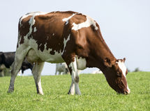 Brown and white cow grazing in the green grass Stock Images