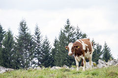Brown and white cow grazing on a italian malga Royalty Free Stock Image