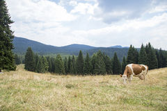 Brown and white cow grazing Stock Photography