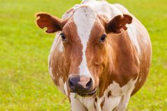 Brown and white cow on greeen grass Royalty Free Stock Photography