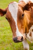 Brown and white cow on greeen grass Stock Photos