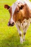 Brown and white cow on greeen grass Stock Photography