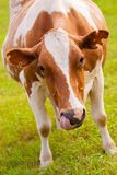 Brown and white cow on greeen grass Royalty Free Stock Image