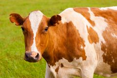 Brown and white cow on greeen grass Royalty Free Stock Photos