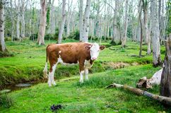 Brown and White Cow in a Green Pasture Stock Images