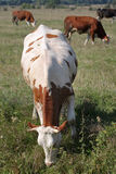 Brown white cow in the herd Stock Photo
