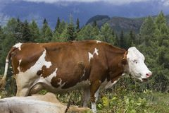A brown and  white cow in the high grass Stock Photography
