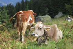 A brown and a white cow in the high grass Royalty Free Stock Images