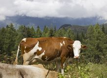 A brown and  white cow in the high grass in Motta Stock Photo