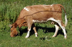 Brown white cow with horns grazing in the meadow Royalty Free Stock Photo