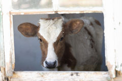 Brown and white cow inside building. Young brown and white cow inside an old derelict building Stock Images