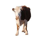 Brown and white cow, isolated. Brown and white cow, standing, looking straight at camera, isolated royalty free stock photos